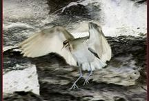 birdlife of the barwon river / Photographic images of birds found in and around The Barwon River, Geelong, Australia.