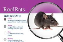 Rodents 101: Mouse, Rat & Pest Facts, Tips & Info. / Everything you need to know about mice, rats, moles, and gophers! This board is full of information and facts about rodents, rodent damage, rodent diseases, tips for baiting rodents, and identifying different rodents and rodent damage.
