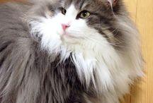 Hyne, Norwegian Forest Cat / Hyne, Norwegian Forest Cat ノルウェージャンフォレストキャットのハイネです。 東京に住んでいます。