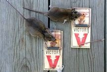 #Gotcha / Victor mouse traps and rat traps in action!