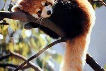 RED PANDA / レッサーパンダ RED PANDA