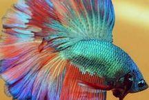 FISH BETTA / INFO ABOUT BETTA FISH