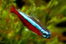 FISH TETRA / INFO ABOUT TETRA AND BARB FISH