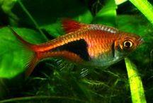 FISH RASBORA / INFO ABOUT RASBORA FISH