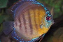 FISH DISCUS / INFO ABOUT DISCUS FISH