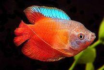 FISH GOURAMI / INFO ABOUT GOURAMI FISH