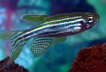 FISH DANIO / INFO ABOUT DANIO FISH