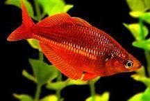 FISH RAINBOW / INFO ABOUT RAINBOW FISH