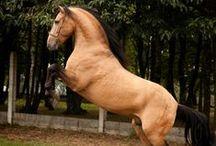 HORSES ANDALUSIAN