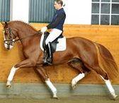 HORSES HANOVERIAN