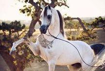 HORSES ARABIAN