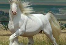 HORSES GYPSY VANNER