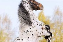 HORSES APPALOOSA