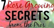 ROSES - GROWING PRUNING