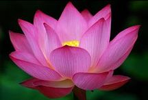 Lotus -Lilies water flowers / LIMIT 10 PINS DAILY PER BOARD .PLEASE RESPECT MY REMINDER ....THANK YOU!