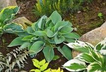 My Hosta Collection