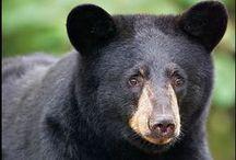 Bears, Bears, & More Bears / Beautiful Bears