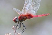 Dragonflies & Cicadas
