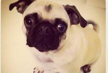 Pug / all things my pug would pin