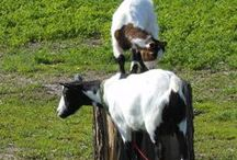 Breeds of Goats and Their Husbandry / Males are called Bucks, castrated males are called Wethers, a  Female is called a Doe, babies are called Kids, young male is a Buckling, young female is a Doeling. Giving birth is called Kidding / by Deb Arends-Bush