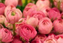Flowers: The Ranunculus