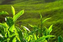 The Origin of Tea / From earth, to plants, to people, to tea.
