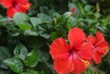 Beautiful Flowers / Beautiful flowers at Ramada Bintang Bali Resort garden
