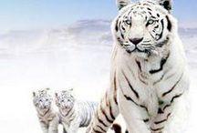 białe tygrysy / o białych tygrysach