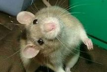 Animals - World of Rats / I love rats / by Donna Stringfellow