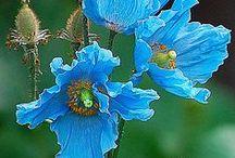 Flowers / Flori,plante medicinale