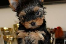 Joya Armani from York / Yorkshire terrier puppy