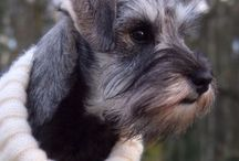 "Miniature Schnauzer Mac Link's This is Kiss Me Quick ""Majken"" / Miniature Schnauzer Mac Link's This is Kiss Me Quick ""Majken"""