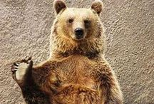 Bears, Koala, Panda, Teddy Bears / Bears. Find wildlife bear photos, brown and black bear pics, arctic polar bears, cubs, pandas, cute koalas, ghastly grizzlies, funny bear memes, majestic bear pictures, cute Teddy bears and barely funny humor. / by Mimi Meme Me