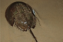 horseshoe crab / by CBG