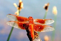 Butterflies and Dragonflies and ... / Butterflies, Dragonflies, Moths and more.