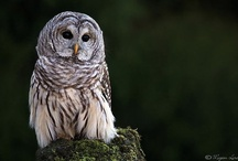 Animals: Owls / Pictures of amazing #owls....