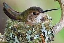 Animals: Hummingbirds