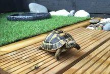 Tortoise / Pet Tortoise
