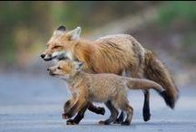 Raposas / Fox