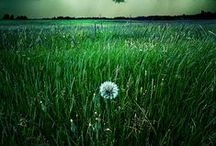 The Much-Maligned Dandelion / Something to ponder along with the nutritional value of sunsets / by Merely Mel