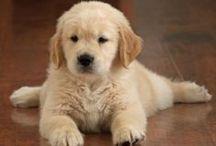 Meus amores caninos (Goldens Retrievers, Poodles e Vira-Latas) / Sobre cachorros das raças Goldens Retrievers, Poodles e Vira-Latas, meus grandes amores que tenho em casa.