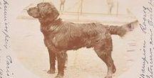 Fluffy Labrador or St.Jhon's long hair? / La storia della razza Labrador Retriever ha le sue radici in questo cane. Sono una mancata archeologa.