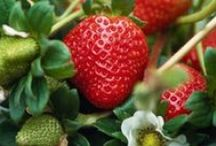 Fantastical Fruits & Berries / A collection of sweet, interesting fresh fruits and berries.