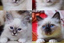 Heilige Birma Kitten / 4 Kitten geboren am 19.06.2015  von oben links nach unten rechts: Matthias, Beate, Daniela & Simone