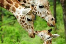 Giraffes / Giraffes & baby Giraffes