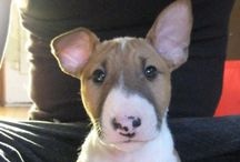 Bull Terriers - A Face Only A Mother Could Love ❤️ / The most beautiful dogs ever ❤️❤️❤️