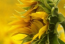 sunflowers! / by Tami Demo