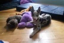 Husky pups / Everything husky.