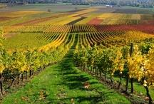 Svinando Magazine / Un giro nell'Italia vitivinicola: luoghi, arte, storia e, ovviamente... vini!