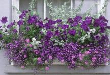 Window boxes / Fenêtres avec fleurs